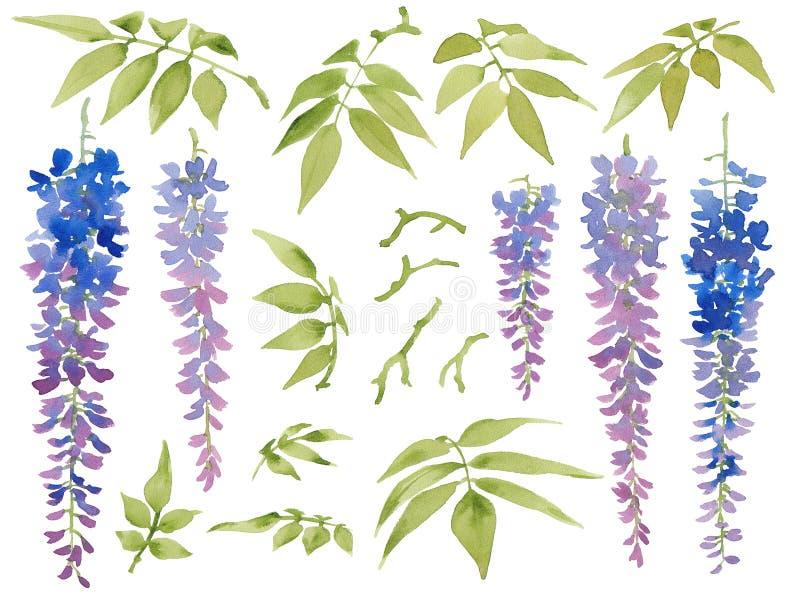 Coleção de elementos florais pintados da aquarela, glicínia de florescência com folhas ilustração stock