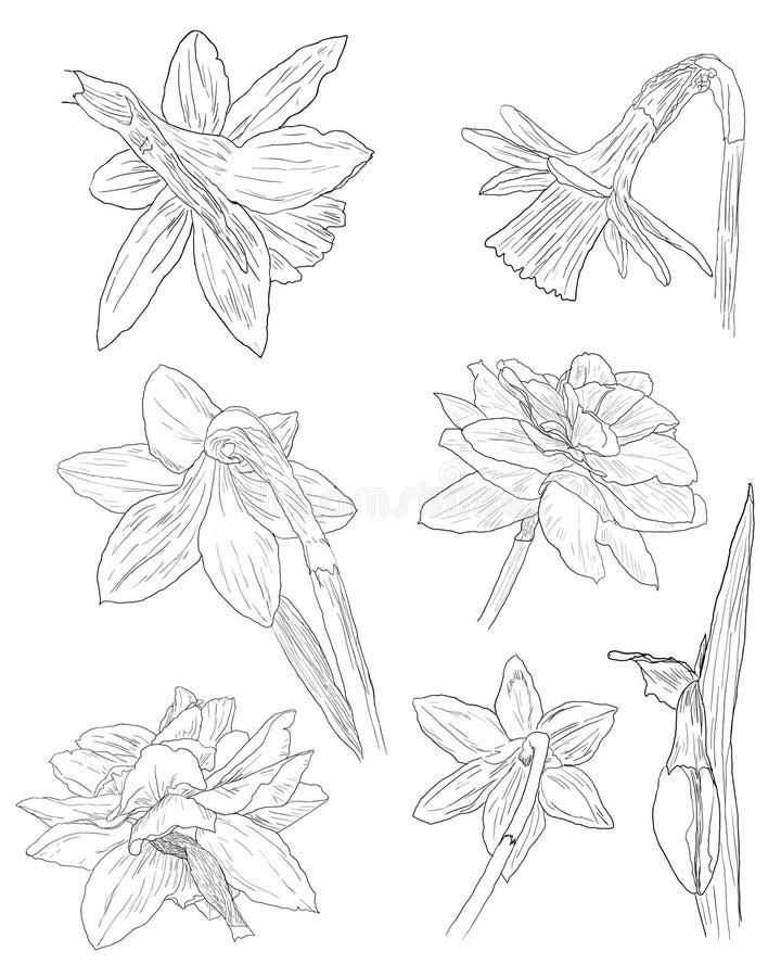 Coleção de esboços do daffodil ilustração stock