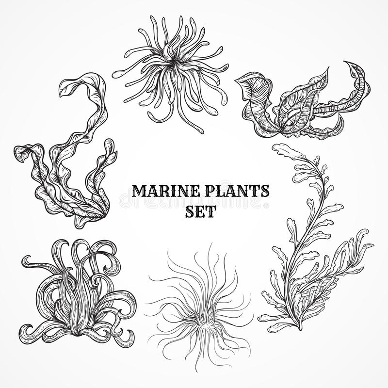 Coleção de plantas, das folhas e da alga marinhas Grupo do vintage mão preto e branco de flora marinha tirada ilustração stock