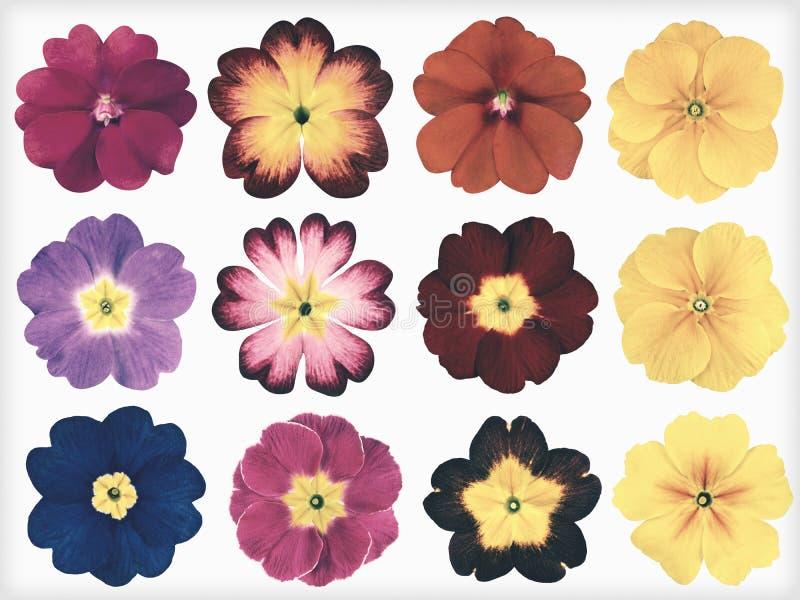 A coleção de prímulas coloridas isolou o estilo retro do vintage fotografia de stock royalty free