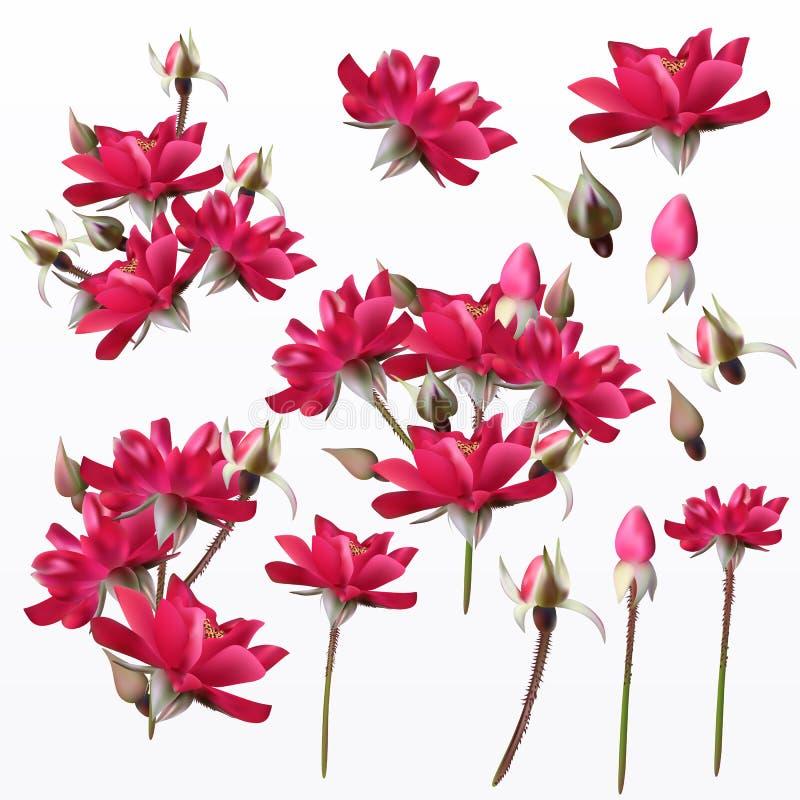 Coleção de rosas bonitas A elevação detalhou a flor realística VE ilustração stock