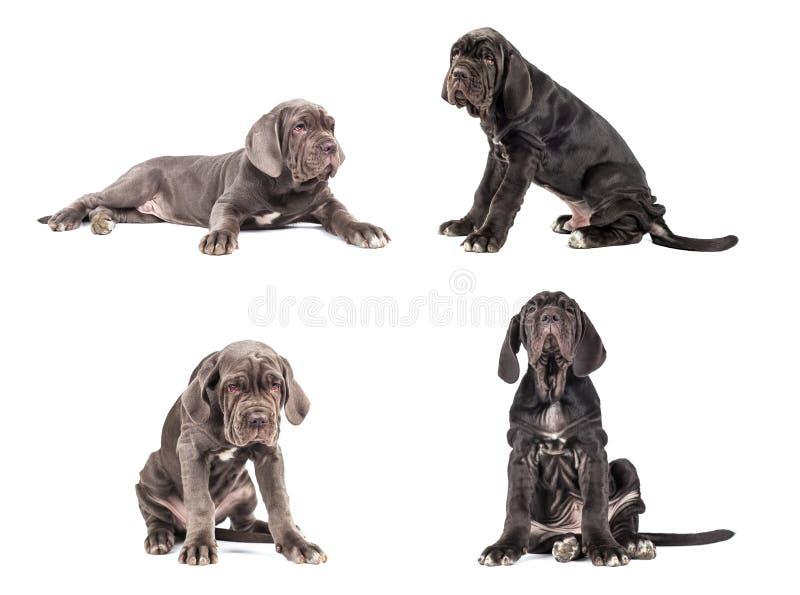 Coleção do corso italiano do bastão do mastim do cachorrinho novo 3 meses foto de stock