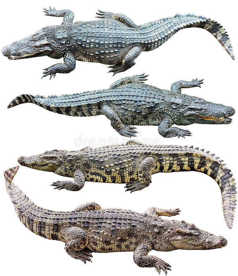 Coleção do crocodilo de água doce isolada no fundo branco imagens de stock royalty free