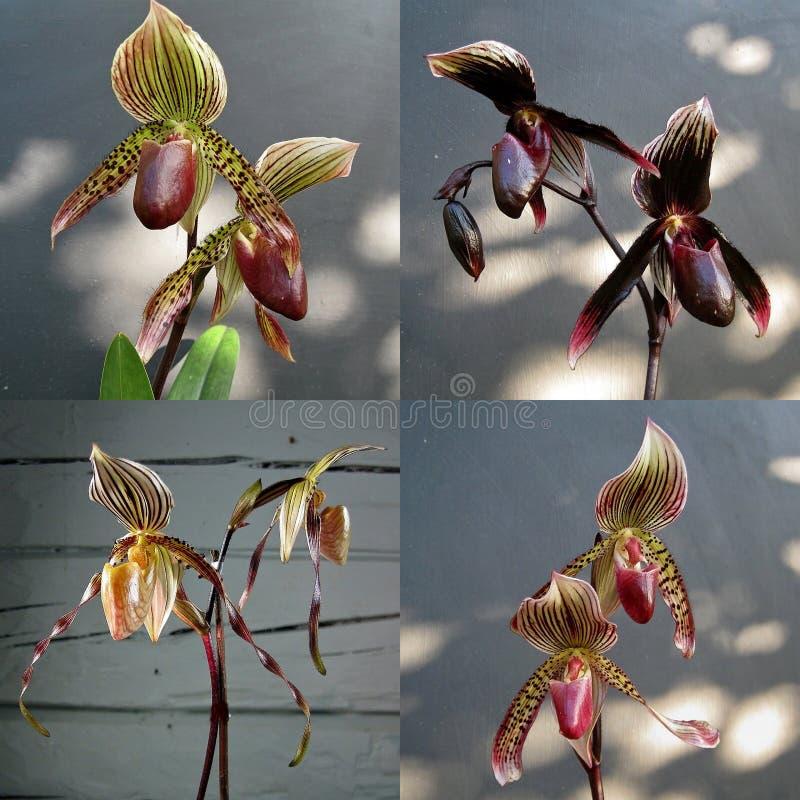 Coleção do híbrido do Paphiopedilum da orquídea imagens de stock royalty free