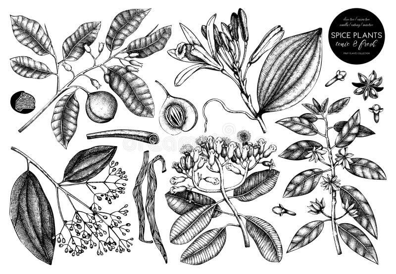Coleção do vetor de especiarias tiradas mão Grupo decorativo de esboço aromático e do tônico de frutos das plantas Ilustrações da ilustração stock