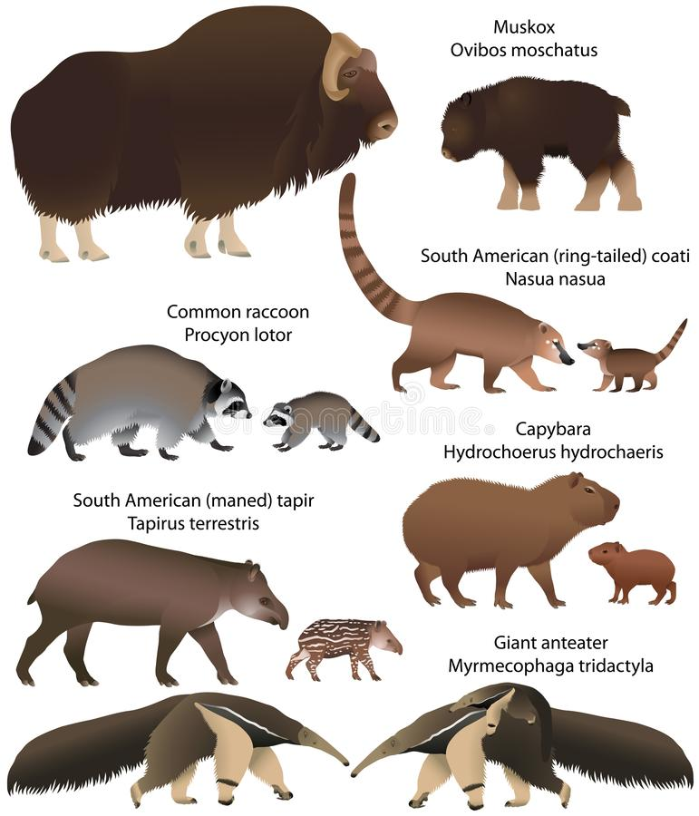 Coleção dos animais com os filhotes que vivem no território do norte e da Ámérica do Sul: muskox, guaxinim comum, sul - tapir ame ilustração royalty free