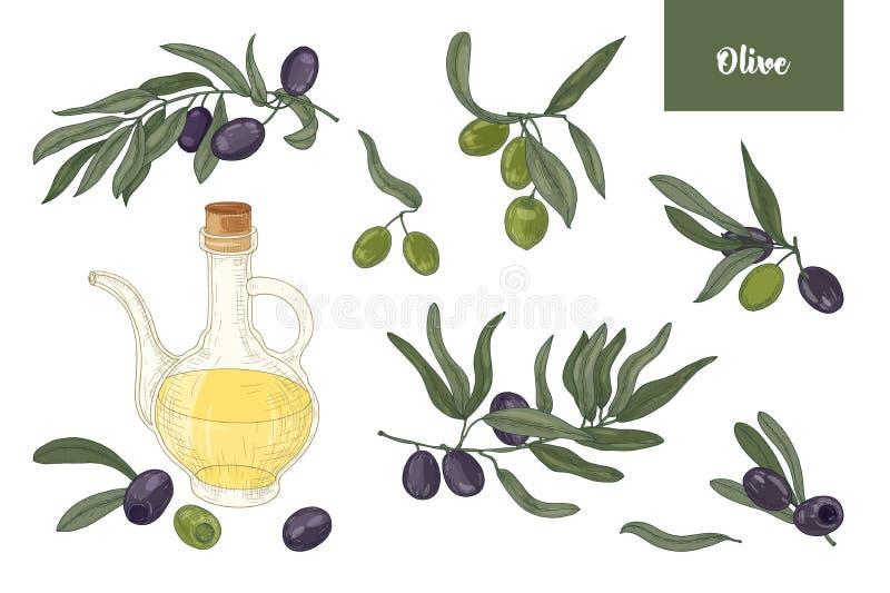 Coleção dos desenhos de ramos de oliveira com folhas, frutos ou drupas pretas e verdes e óleo virgem extra dentro ilustração stock