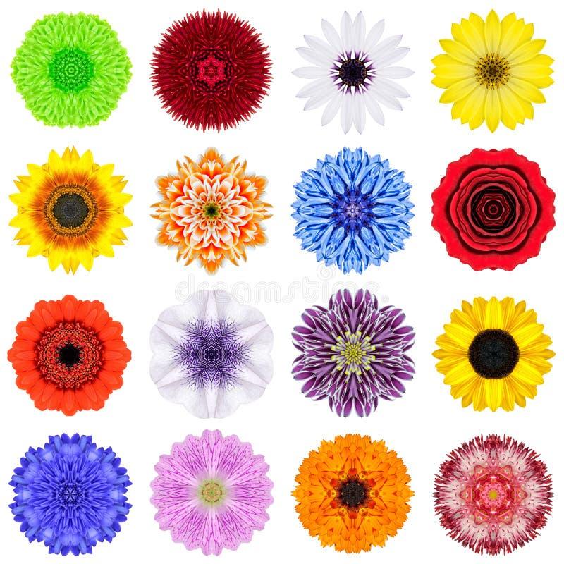 Coleção grande das várias flores concêntricas isoladas no branco foto de stock