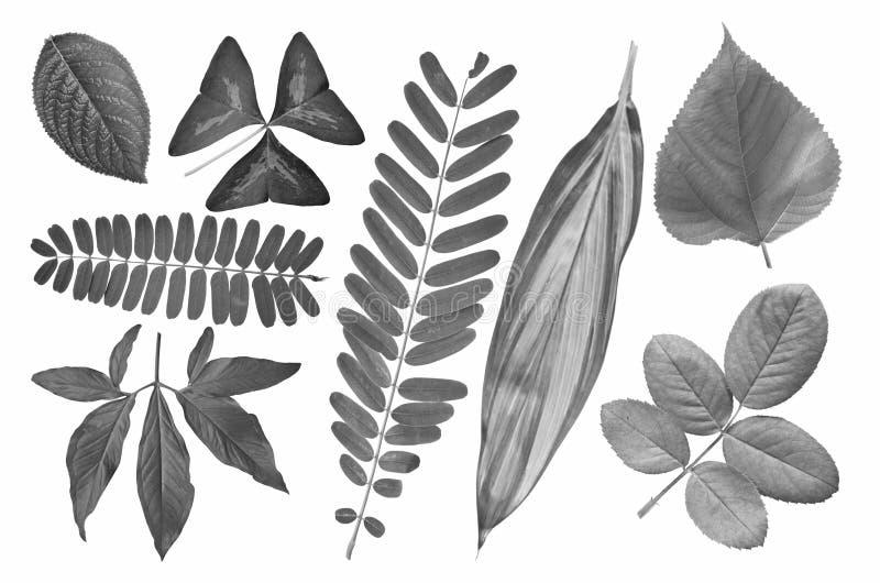Coleção preto e branco da imagem das folhas tropicais foto de stock royalty free