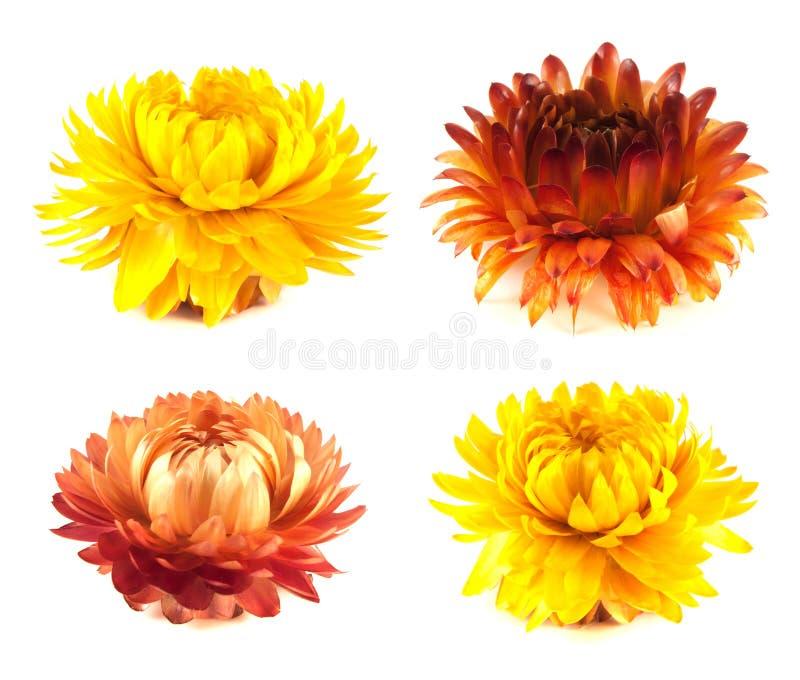 Coleção secada das flores.  no branco. fotos de stock