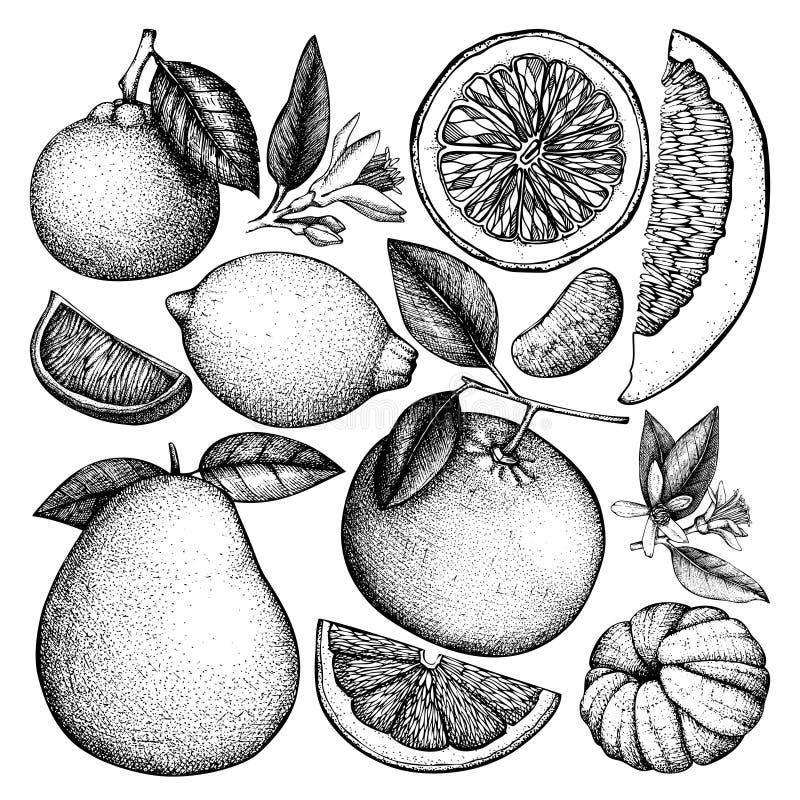 Coleção tirada mão da tinta do vintage das citrinas Desenhos do vetor isolados no fundo branco Ilustração esboçada de altamente ilustração royalty free