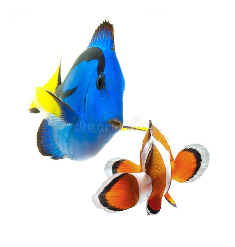 Coleção tropical dos peixes do recife do verão isolada no fundo branco fotos de stock