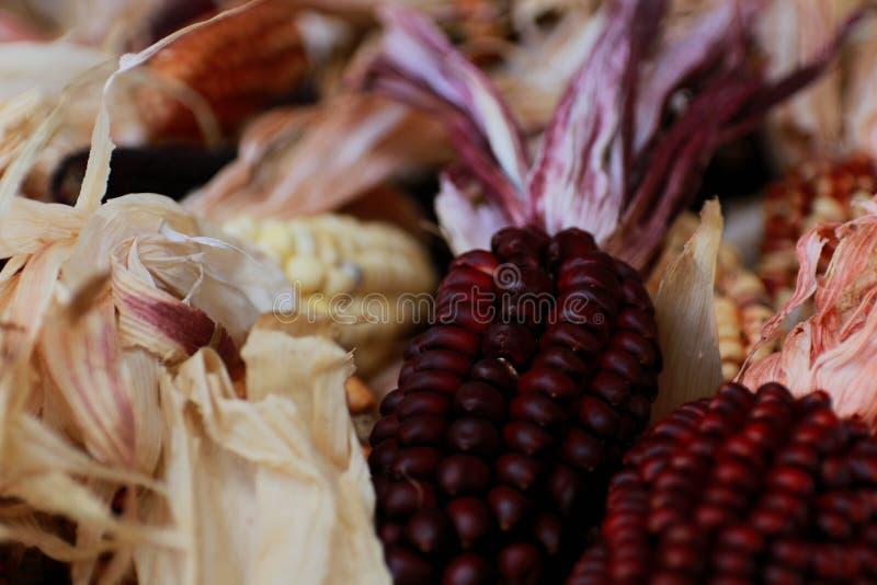 Coleção vermelha do milho com as sementes muito escuras imagens de stock royalty free