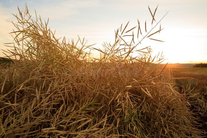 Cole da colheita na terra foto de stock
