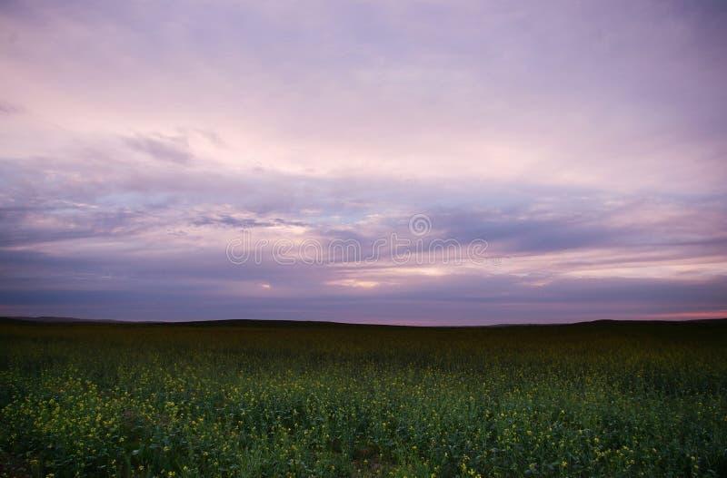 Cole florece el cielo púrpura fotografía de archivo