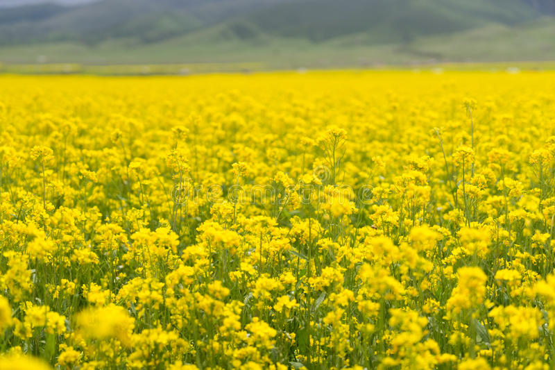 Cole Flower Landscape. Yellow oilseed Cole Flower and cloud, China stock photo