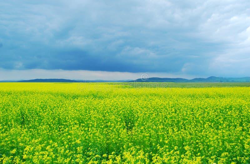 Cole Flowers Field immagine stock libera da diritti