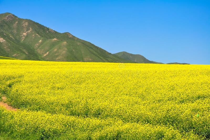 Cole Flowers Field lizenzfreie stockfotos