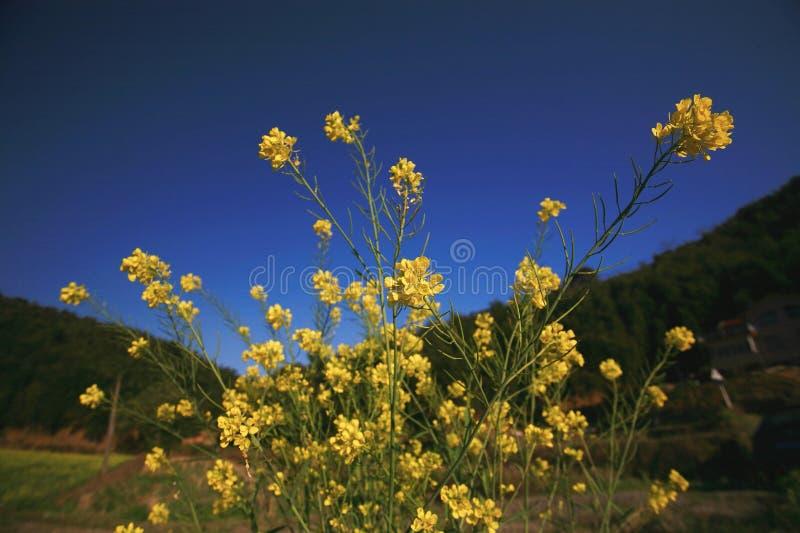 Cole kwiaty zdjęcie stock