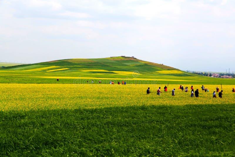 Cole kwiaty Qinghai Menyuan bukolika zdjęcie stock