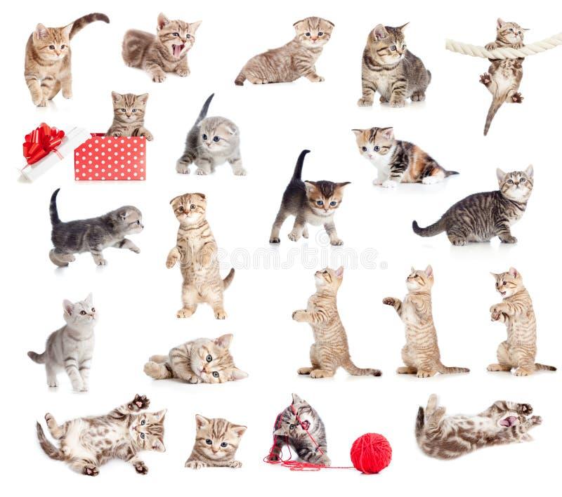 Colección británica de los gatos del bebé imagenes de archivo