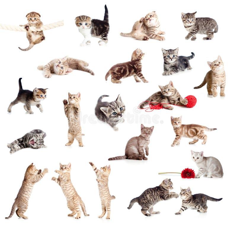 Colección británica divertida de los gatitos fotografía de archivo