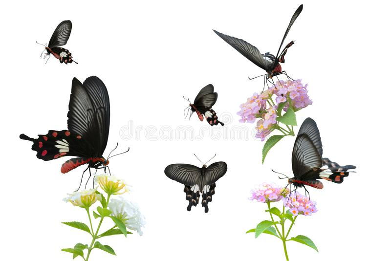 Colección de campo común rojo Rose de la mariposa fotografía de archivo libre de regalías