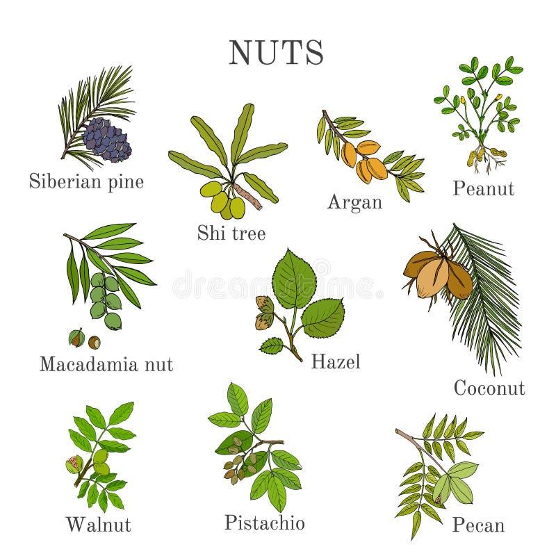 Colección de diversas ramas de la nuez libre illustration
