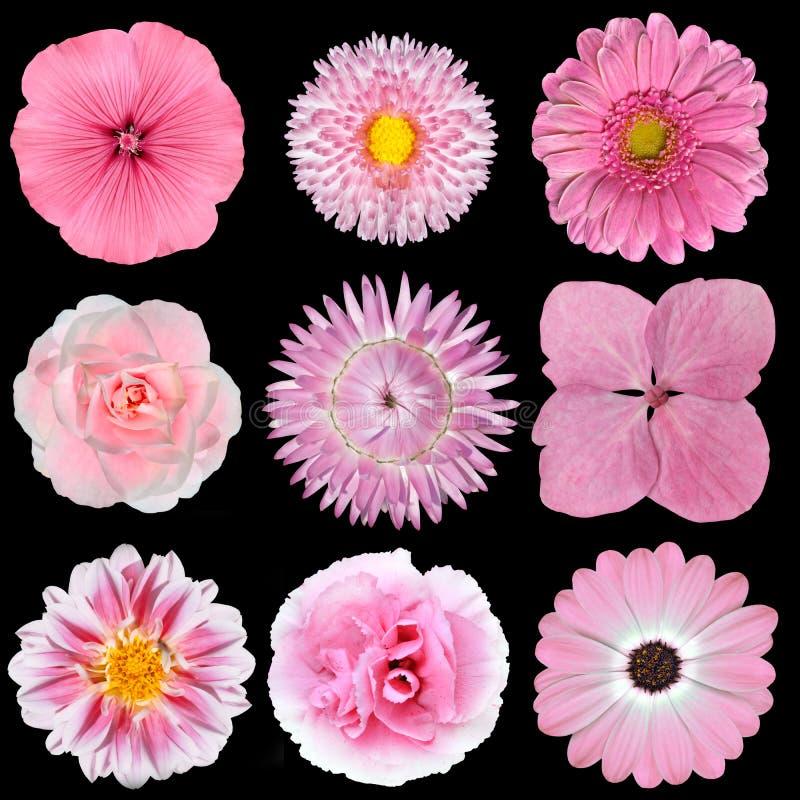Colección de flores blancas rosadas aisladas en negro imágenes de archivo libres de regalías