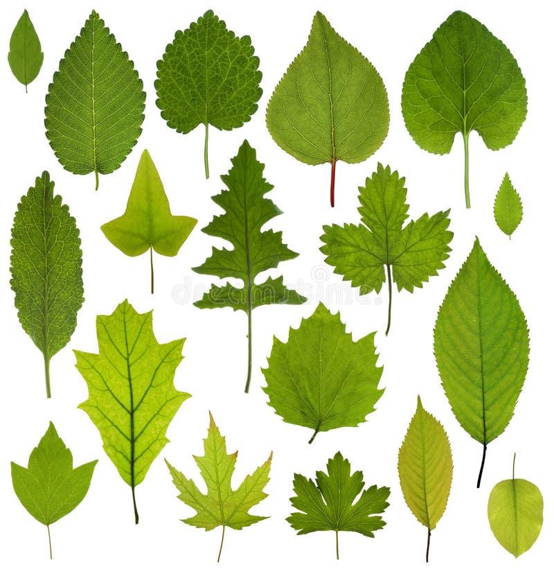 Colección de hojas del verde aisladas en el fondo blanco foto de archivo