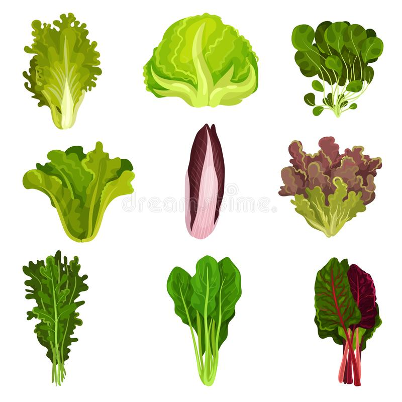 Colección de hojas frescas de la ensalada, radicchio, lechuga, espinaca, arugula, rucola, mache, berro, iceberg, col com n ilustración del vector