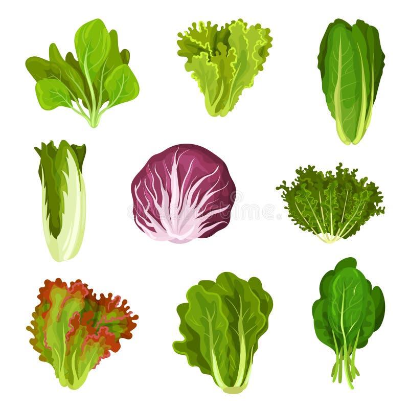 Colección de hojas frescas de la ensalada, radicchio, lechuga, lechuga romana, col rizada, col com n, alazán, espinaca, mizuna, o stock de ilustración