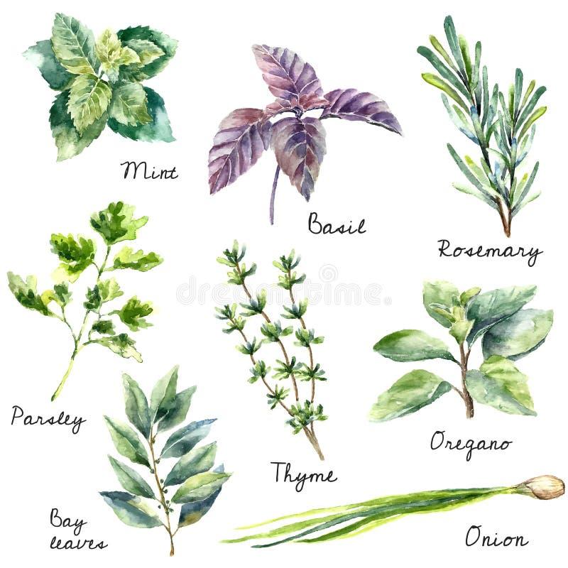 Colección de la acuarela de hierbas frescas aisladas stock de ilustración