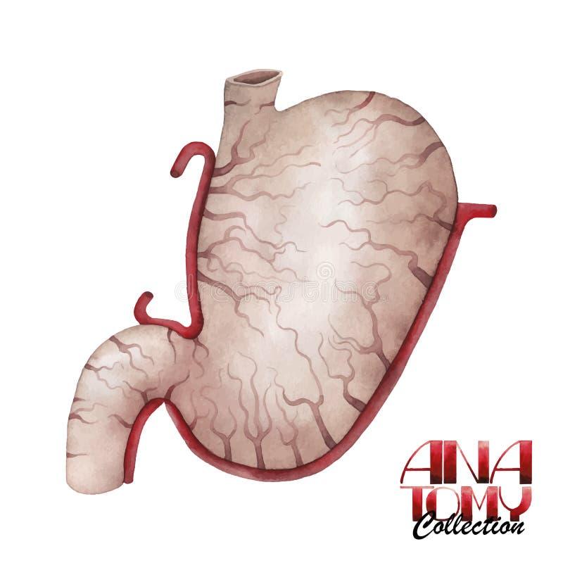 Atractivo Anatomía Del Estómago Fondo De Ojo Ornamento - Imágenes de ...