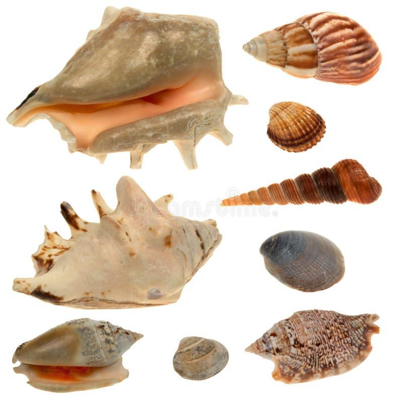 Colección de la concha marina aislada en el fondo blanco fotos de archivo