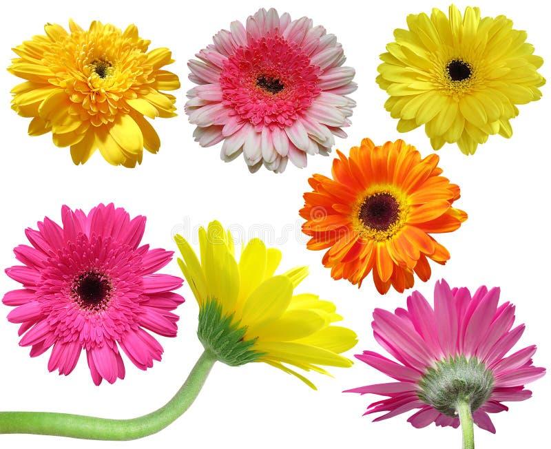 Colección de la flor de la margarita del Gerbera fotografía de archivo libre de regalías