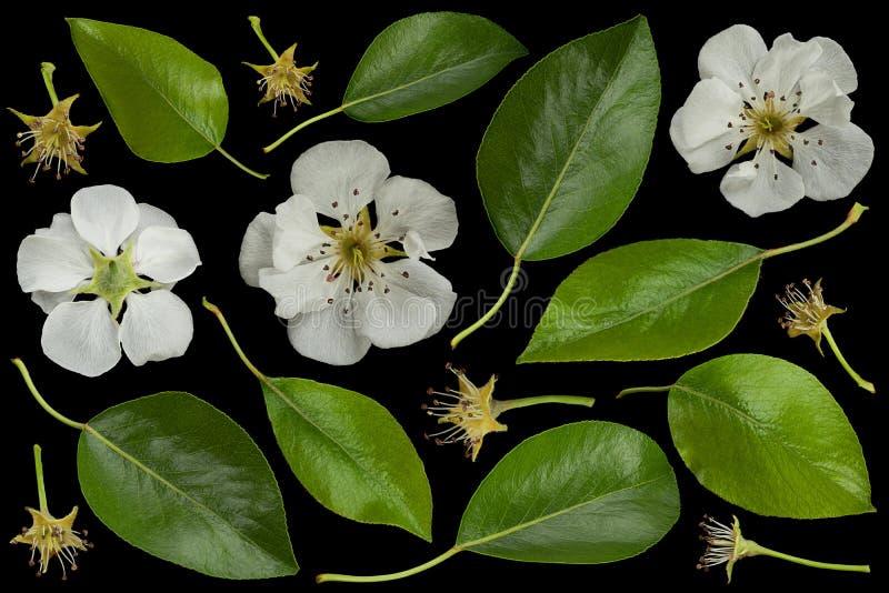 Colección de la flor del flor de la pera fotos de archivo libres de regalías