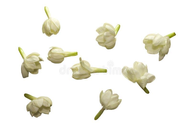 Colección de la flor del jazmín aislada foto de archivo libre de regalías