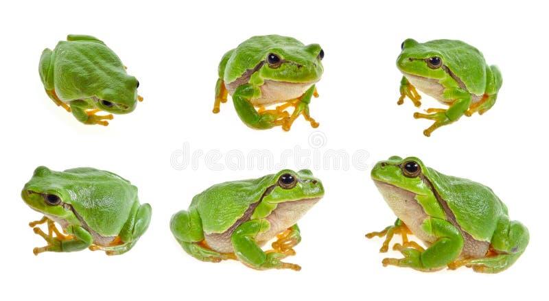 Colección de la rana de árbol fotografía de archivo libre de regalías