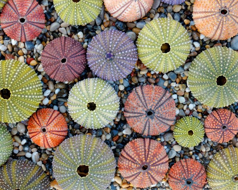 Colección de las cáscaras del erizo de mar como fondo natural foto de archivo libre de regalías
