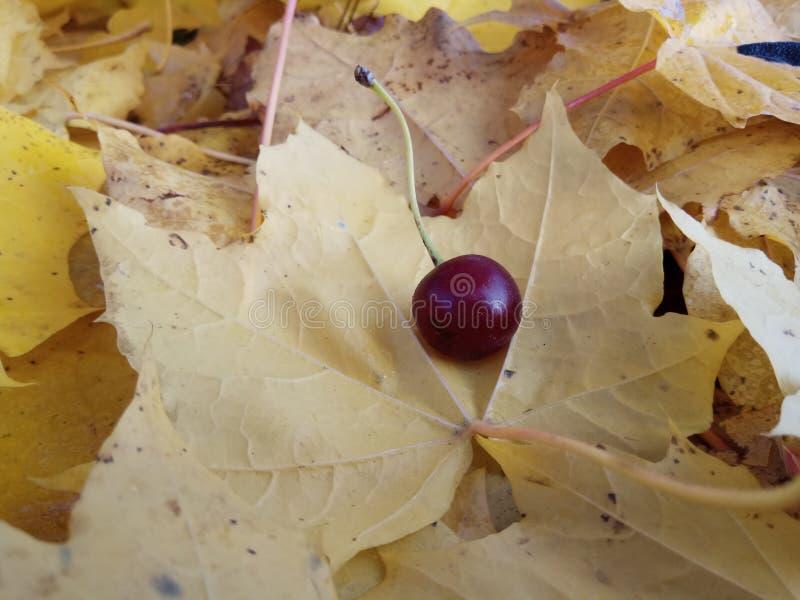 Colección de las hojas de arce del otoño aislada en amarillo foto de archivo