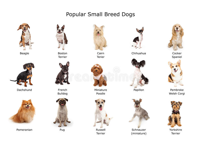 Colección de pequeños perros populares de la raza imagen de archivo