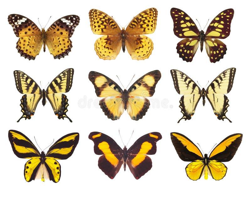 Colección de polilla de la mariposa aislada en blanco foto de archivo libre de regalías