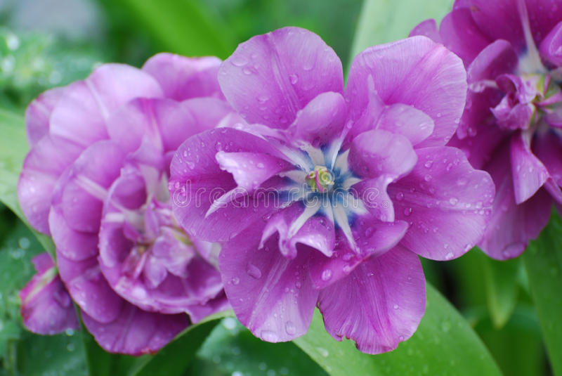 Colección de Tulip Flower Blossoms púrpura en la floración fotografía de archivo
