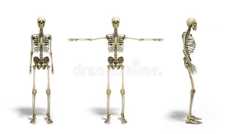 Colección del ejemplo exacto médico 3d del skel humano libre illustration
