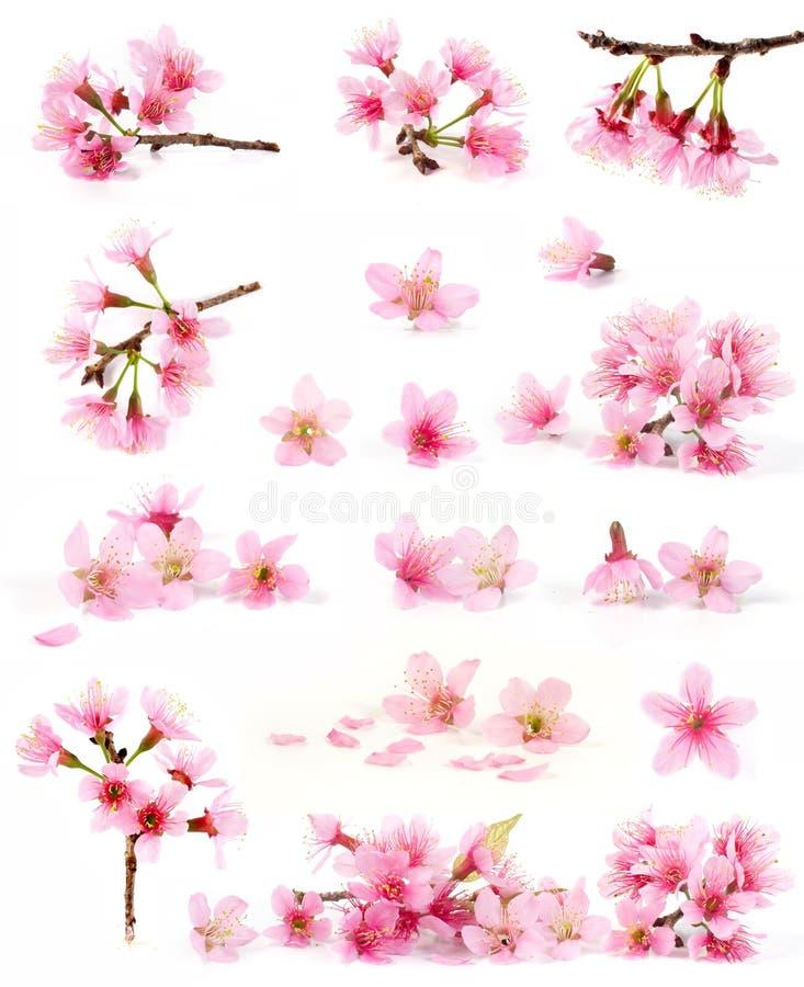 Colección del flor de cereza foto de archivo libre de regalías