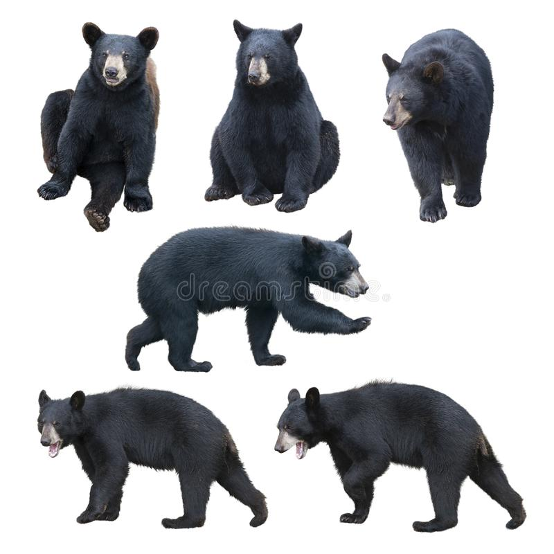 Colección del oso negro en el fondo blanco imagen de archivo libre de regalías