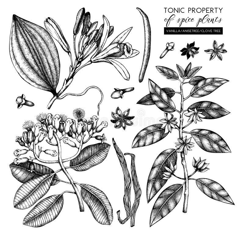 Colección del vector de plantas tónicas y picantes - nuez moscada moscada, anís de estrella, árbol de clavo Sistema exhausto de l ilustración del vector