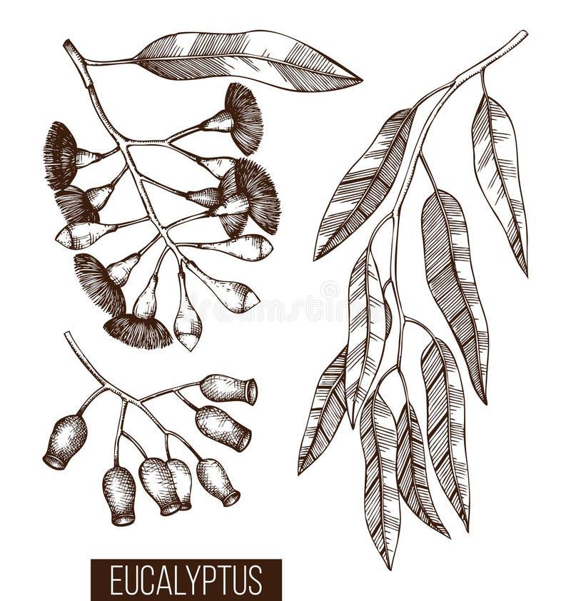 Colección del vintage de bosquejos exhaustos del eucalipto de la mano Cosméticos y planta médica del mirto Drenaje botánico tasma libre illustration