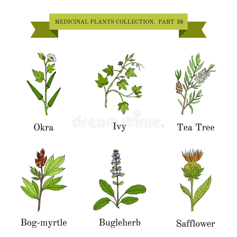 Colección del vintage de hierbas y de plantas médicas dibujadas mano libre illustration